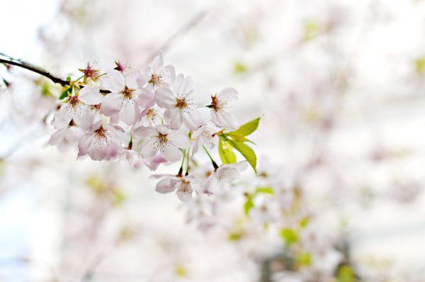 cherry-blossom-1246539_1920