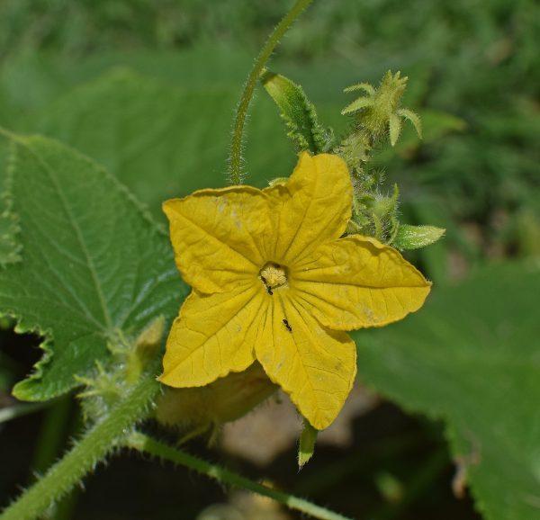 cucumber-blossom-2476211_1920