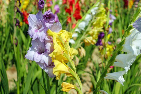 gladiolus-1546607_1920
