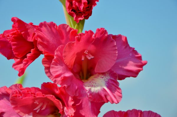 gladiolus-2690692_1920