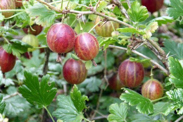 gooseberry-385445_1920