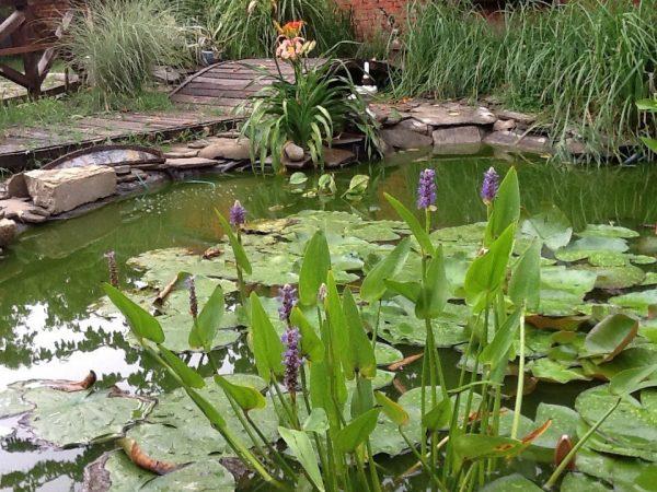 Понтедерии в пруду