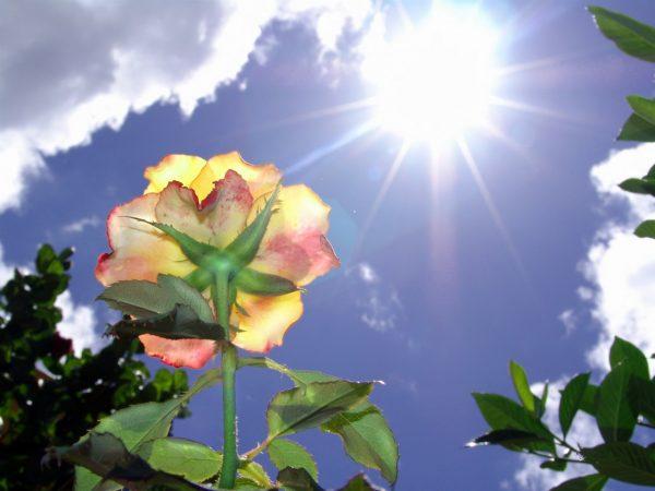 Солнечный свет для роз