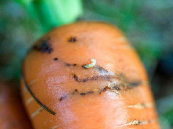 Личинки морковной мухи в моркови