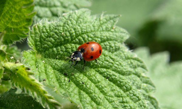 ladybug-349456_1920