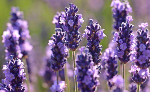 lavender-2426376_1920