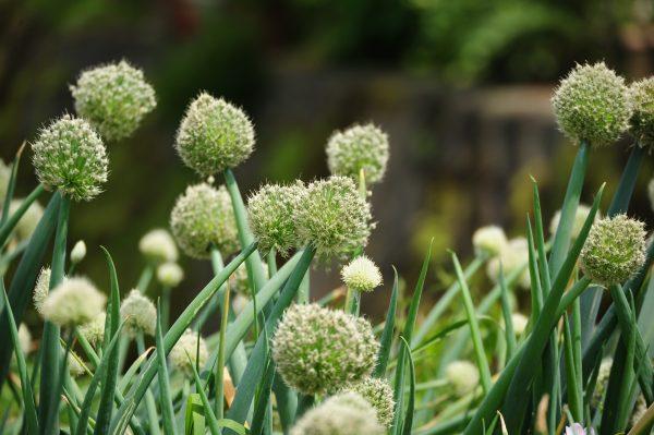 onions-3415452_1920