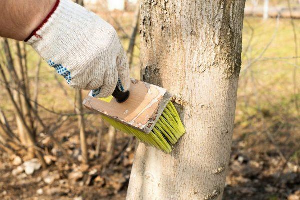 Белить деревья