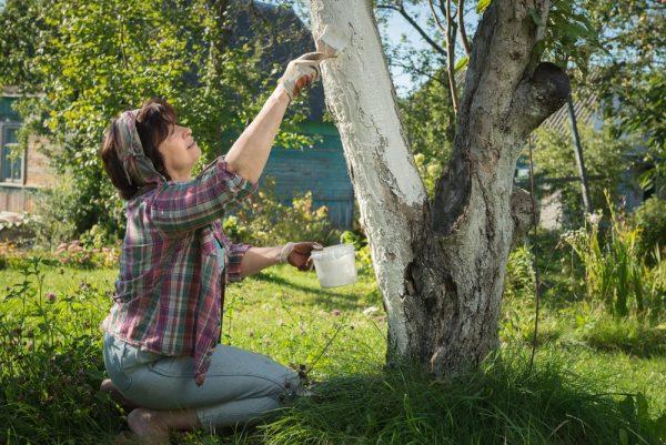 Польза побелки деревьев