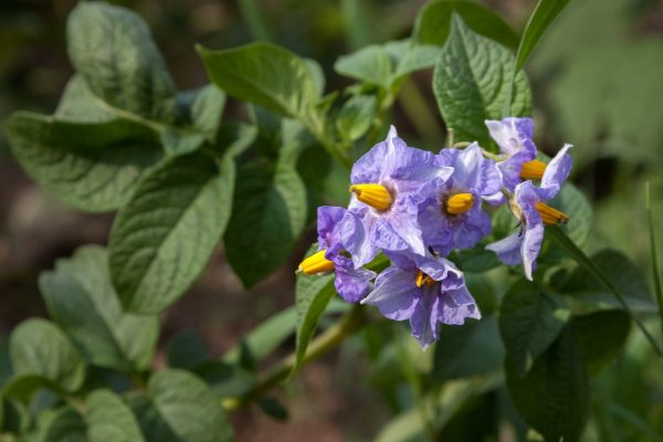 potatoes-in-bloom-1747769_1920