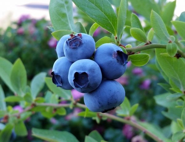 rubel-blueberry-2918485_1920