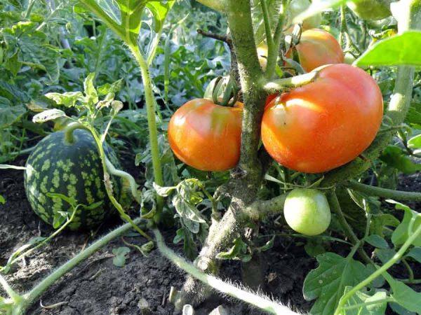 Арбузы и томаты в огороде