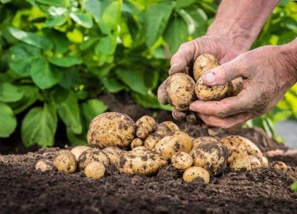 Бережный сбор урожая картофеля
