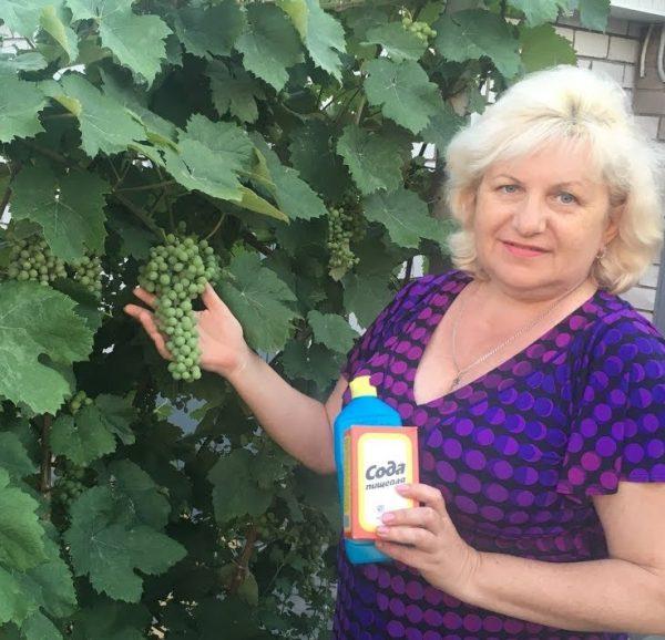 Cода от серой гнили на винограде