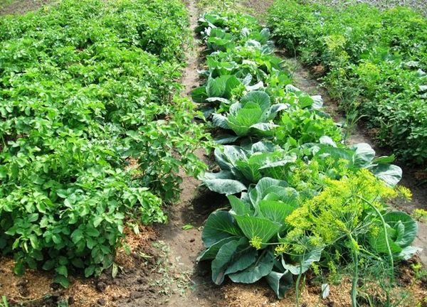 Картофель и капуста
