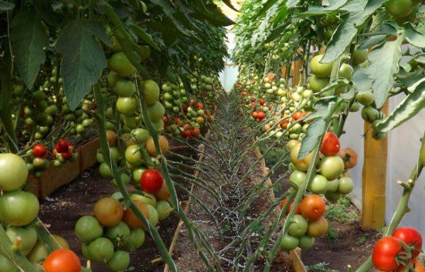 Штамбовые томаты в теплицы