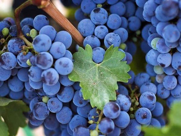 vinograd-1
