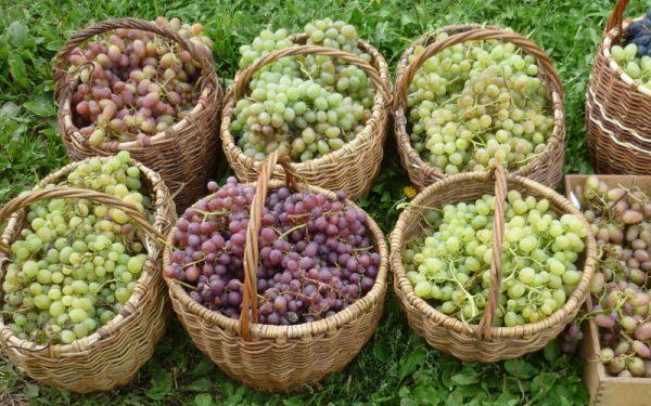 vinograd2-2