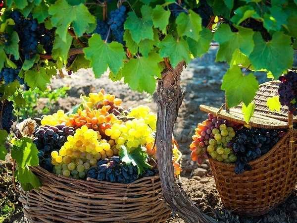vinograd6