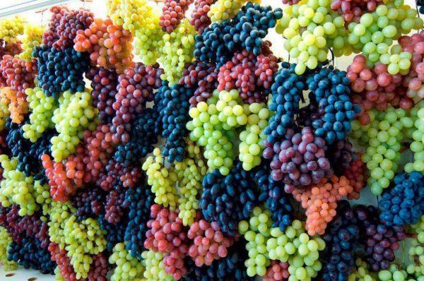 vinograd7