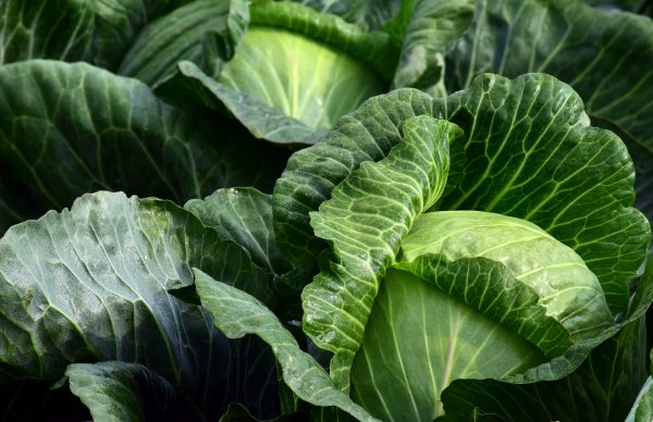 white-cabbage-2747316_1920-1
