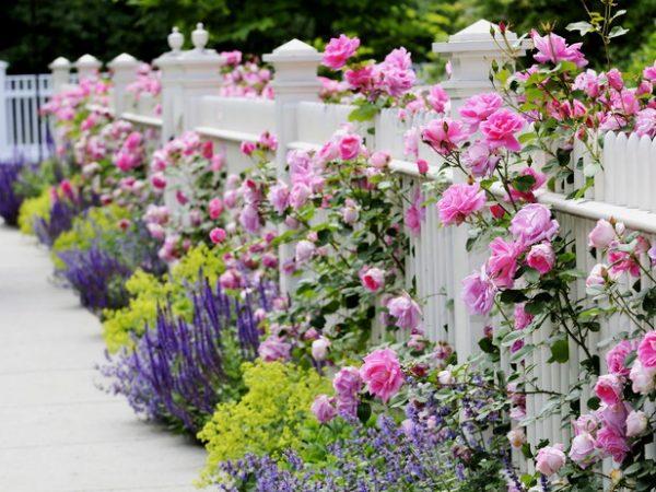 Растения компаньоны роз