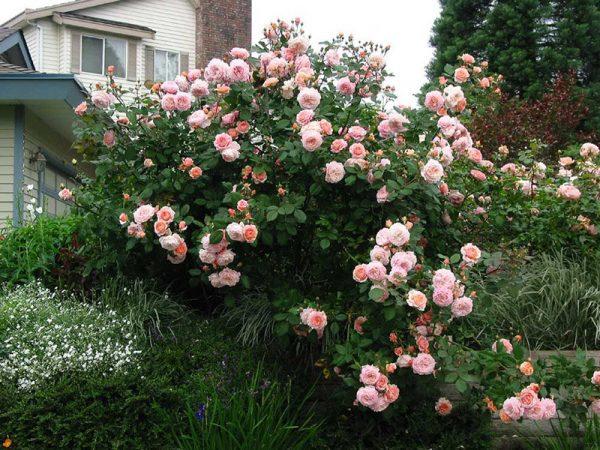 розы для живой изгороди