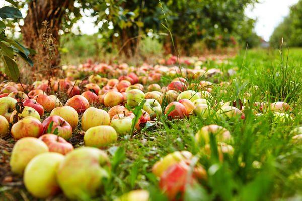 Надавить на яблоко определить зрелость