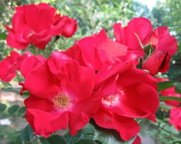 Розы ADR