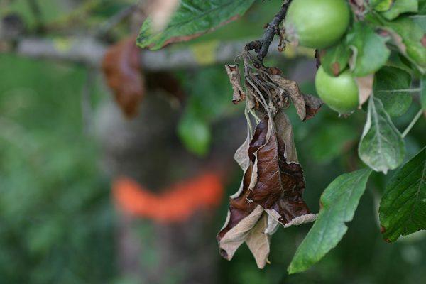 Бактериальный ожог яблони