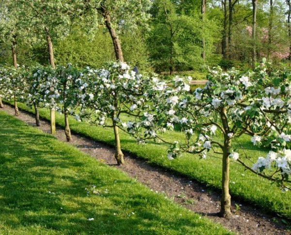 Изгородь из плодовых деревьев