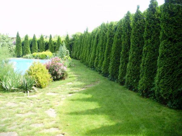 Изгородь из вечнозеленых растений