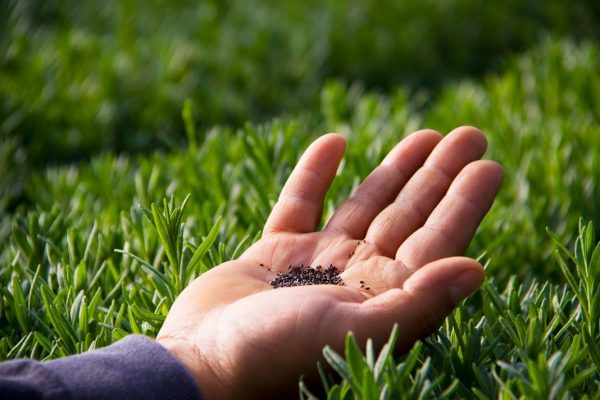 Посев семян лаванды