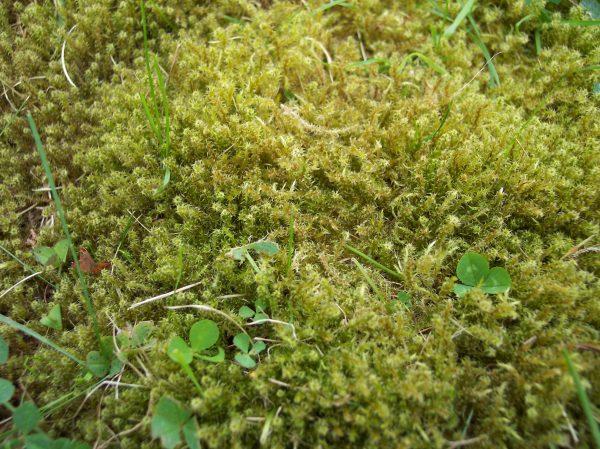 мох на газоне
