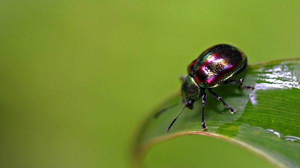 Радужный жук