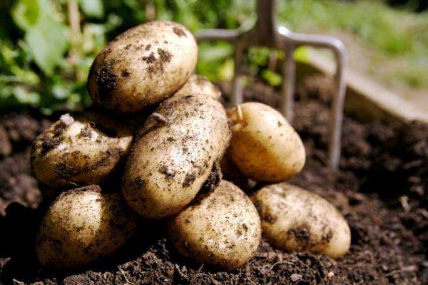 Секреты повышения урожайности картофеля