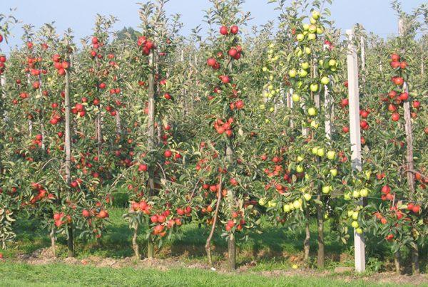 Яблони разных сортов в саду