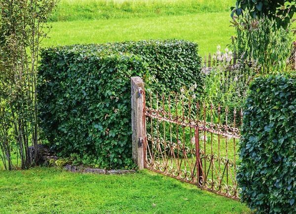 Живая изгородь разделенная забором