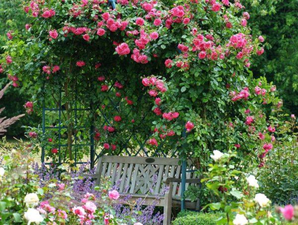 Плетистая роза на беседке