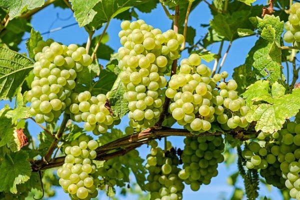 grapes-2656259_640