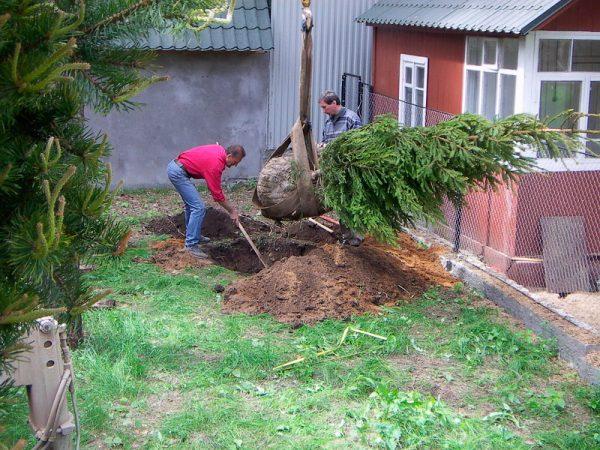 Ошибки при посадке хвойных растений