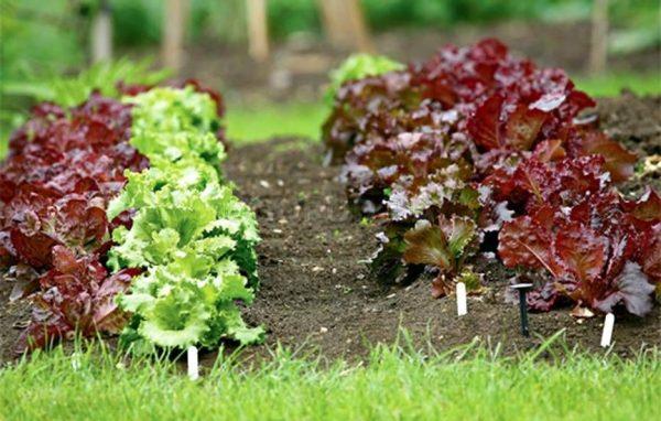 Краснолистные овощи