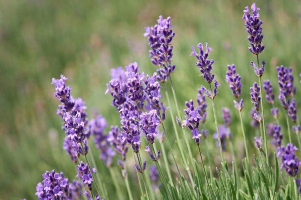 lavender-3469087_1920