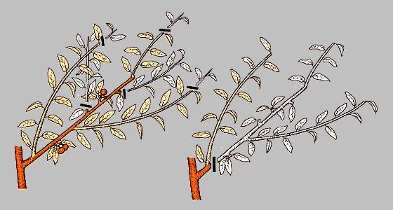 obrezka-abrikosa3