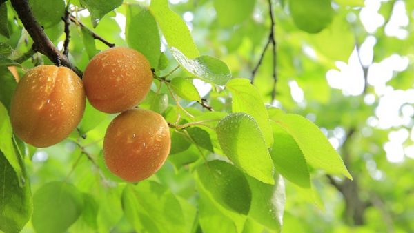 peaches-824627_640