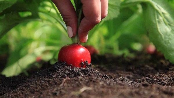 Почва для редиса