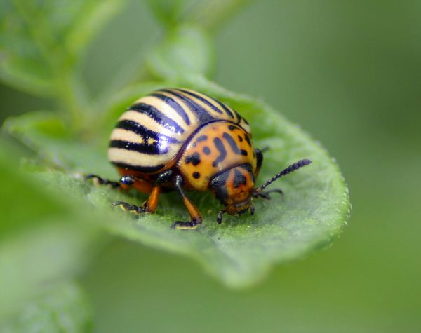 potato-beetle-2766872_1920