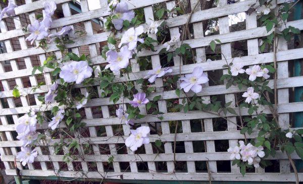 Решетчатый забор с вьющимися растениями