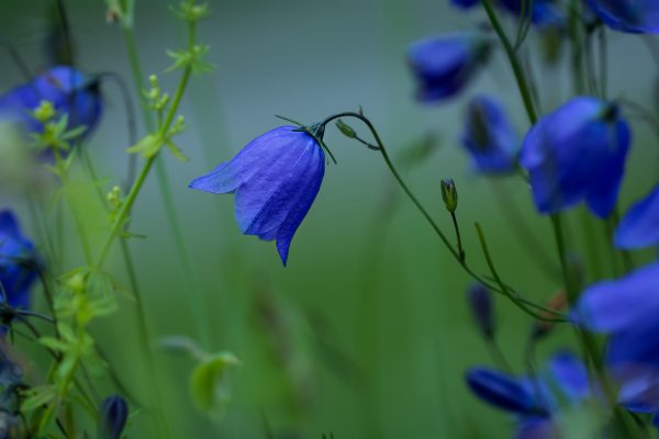 round-leaved-bellflower-1576104_1920