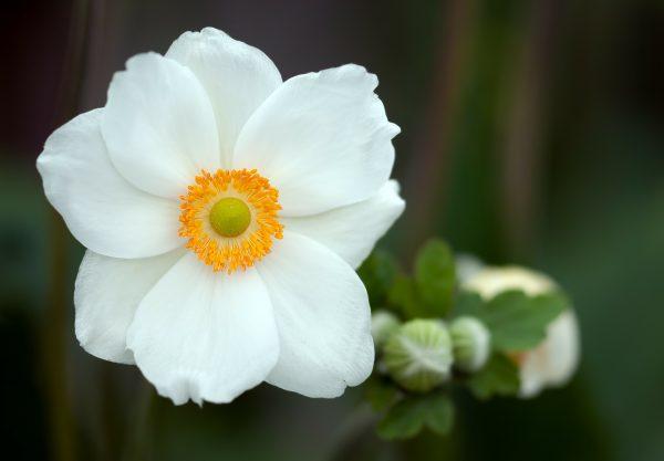 summer-anemone-224501_1920
